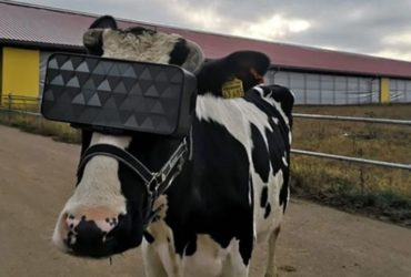 Une vache portant un casque de la réalité virtuelle (VR) en Russie