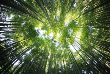 Une canopée de bambous.