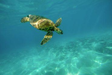 Une tortue de mer, l'une des espèces les plus menacées au monde.