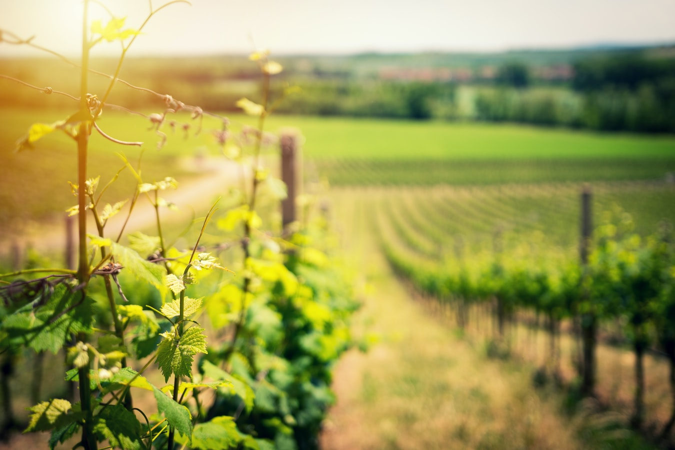 Un champ de vignes.