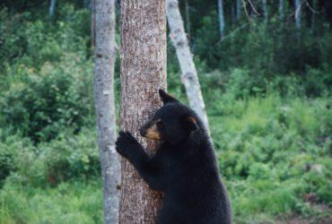 Un ours au Québec (Canada).