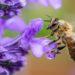Une abeille en pleine pollinisation d'une fleur.